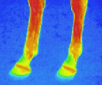 Thermographic picture - infrared photograph of horses feet